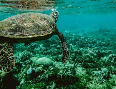 Havssköldpaddor och flyghundar på underbara Mauritius